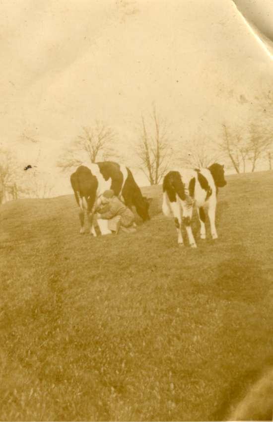 Dojenie krów w Treuburgu.